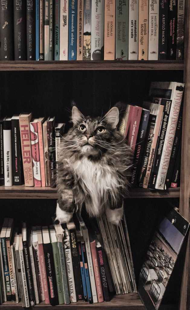 grey and white long coated cat in middle of book son shelf